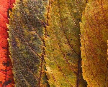 Feuilles de frênes