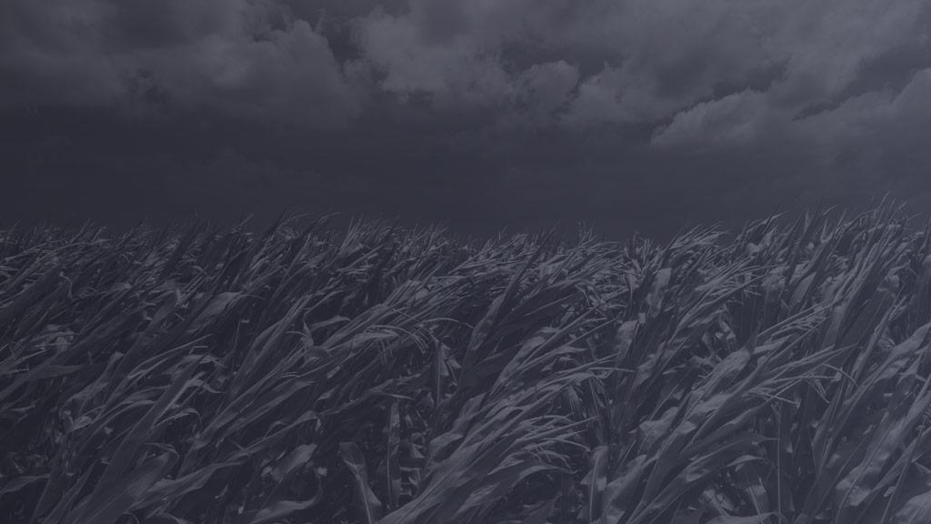 Champs de maïs avant une tempête